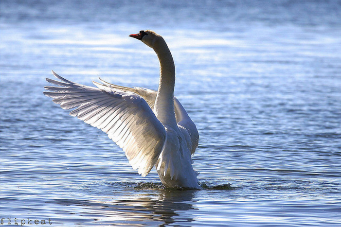 FLIPKEAT Swan 1