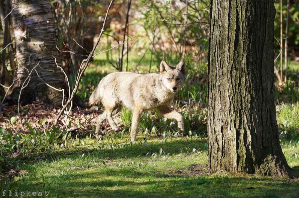 An estimated 230 reports of coyote sightings were filed with the City of Mississauga in 2015. (Photo: Phyllis Keating)